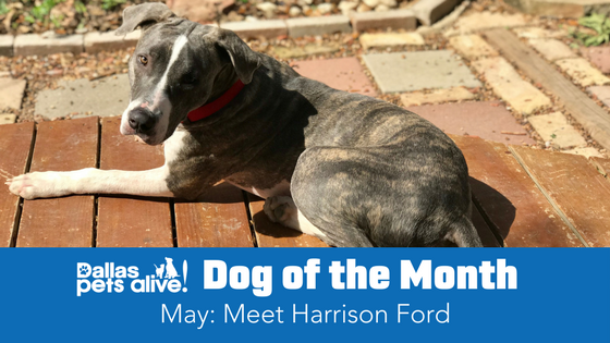 DPA's Dog of the Month – May: Meet Harrison Ford!