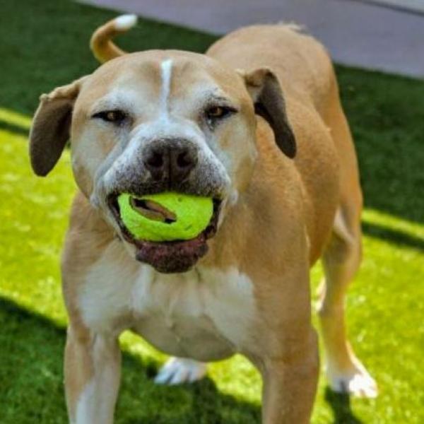 SADIE VIDA ADOPTABLE DOG DALLAS PETS ALIVE