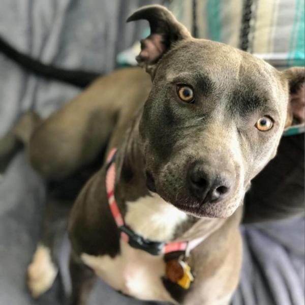SLOAN ADOPTABLE DOG DALLAS PETS ALIVE