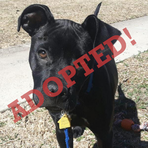 Aubree Adopted Dog Dallas Pets Alive