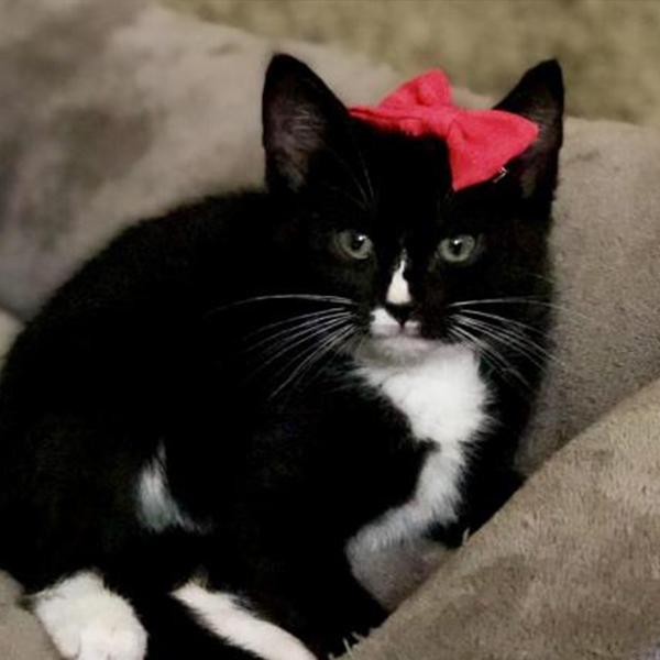 BOP ADOPTABLE CAT DALLAS PETS ALIVE