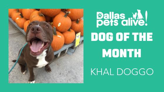 DPA Dog of the Month – November: Meet KHAL DOGGO