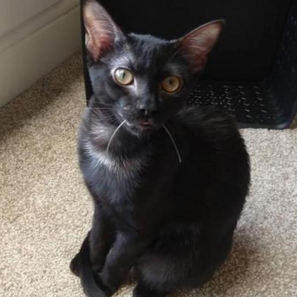 MARBLES ADOPTABLE CAT DALLAS PETS ALIVE