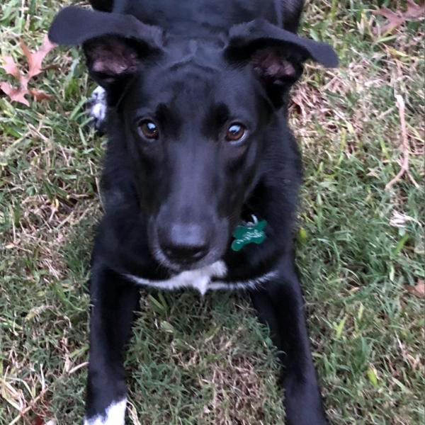 Mollie adoptable dog dallas pets alive