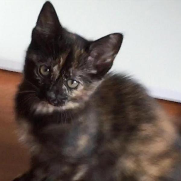 OLIVE ADOPTABLE CAT DALLAS PETS ALIVE