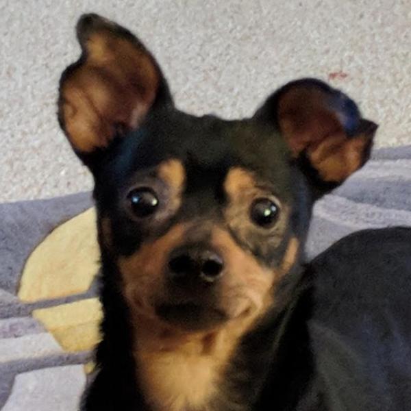 Percy Adoptable Dog Dallas Pets Alive