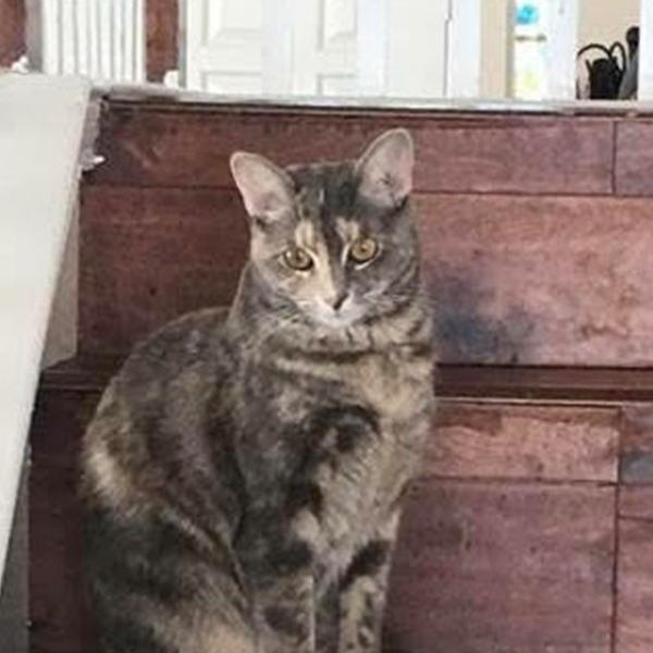 ADOPTABLE CAT FI DALLAS PETS ALIVE