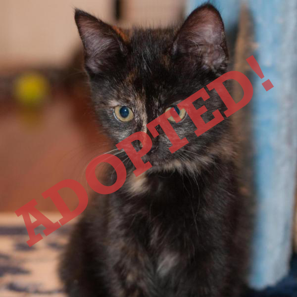 ATHENA ADOPTED CAT DALLAS PETS ALIVE