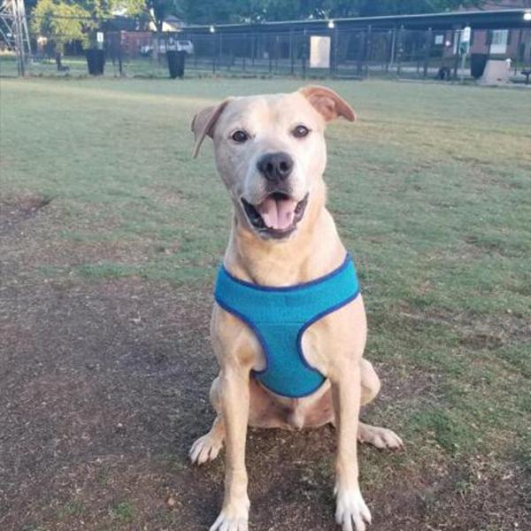 BRUCE adoptable dog Dallas Pets Alive