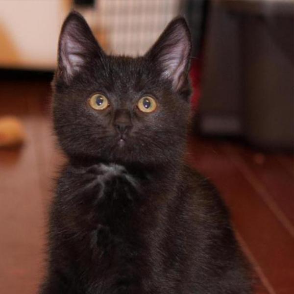 calliope adoptable cat dallas pets alive