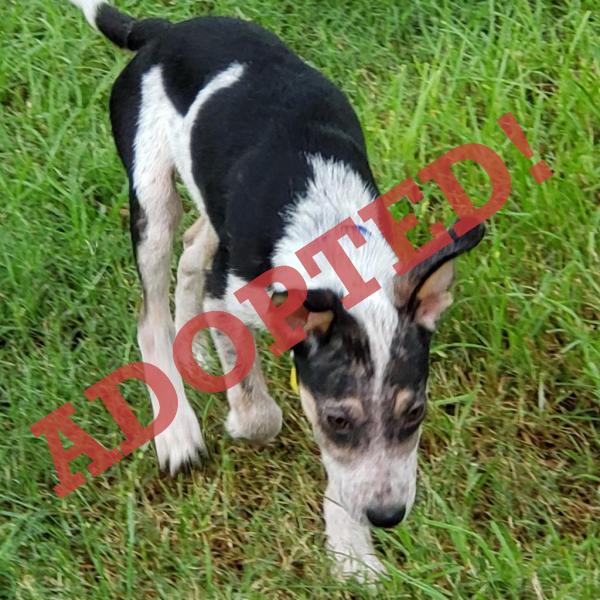 Cowboy Adoptable Dog Dallas Pets Alive