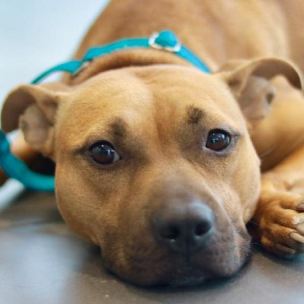 daisie adoptable dog dallas pets alive