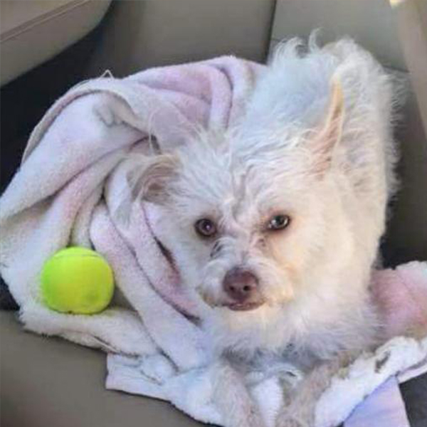 donatella adoptable dog dallas pets alive