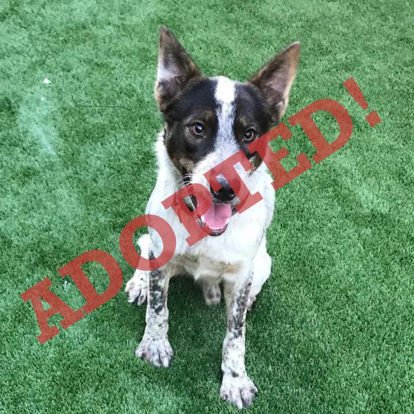 Flint Adoptable Dog Dallas Pets Alive