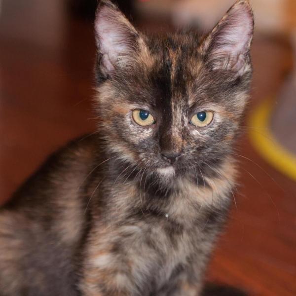 HERA ADOPTABLE CAT DALLAS PETS ALIVE