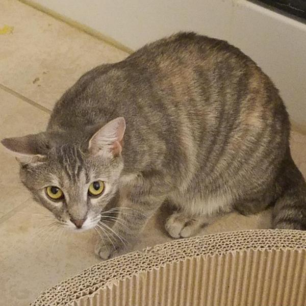 hi ho silver adoptable cat dallas pets alive