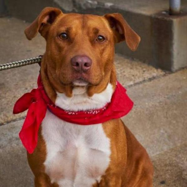 HONEY ADOPTABLE DOG DALLAS PETS ALIVE