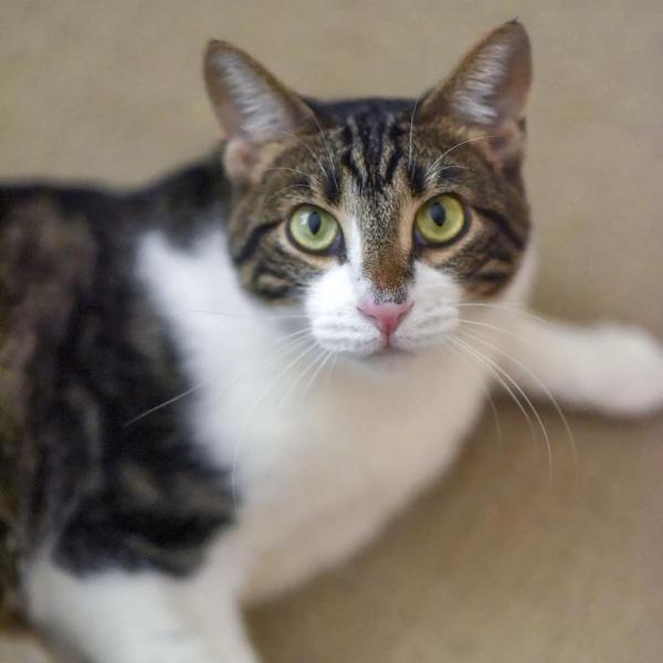 Leo adoptable cat dallas pets alive