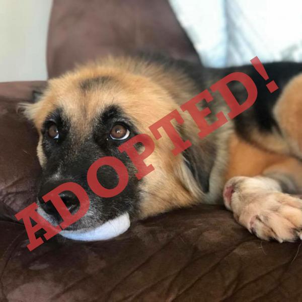 Nova Adopted Dog Dallas Pets Alive