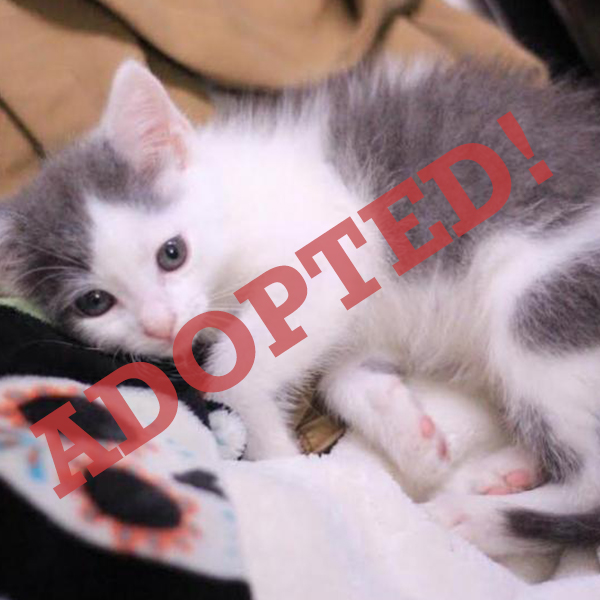 Nugget 3 adopted cat dallas pets alive