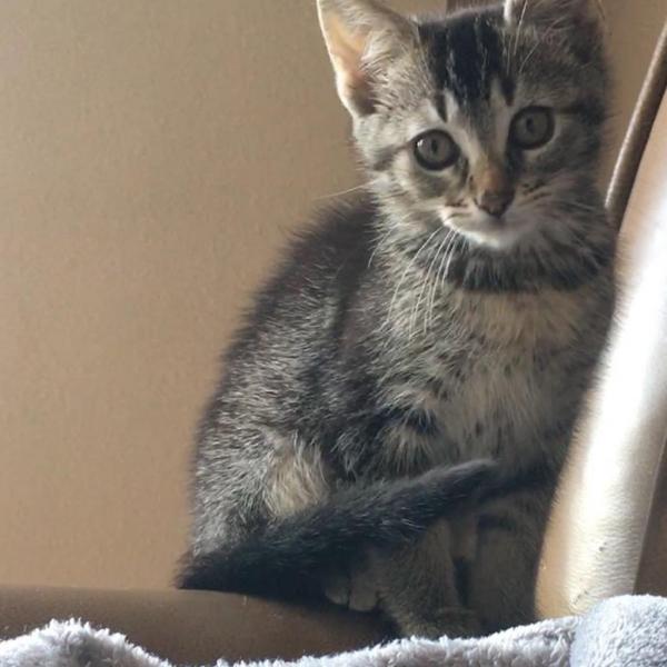 nugget II adoptable cat dallas pets alive