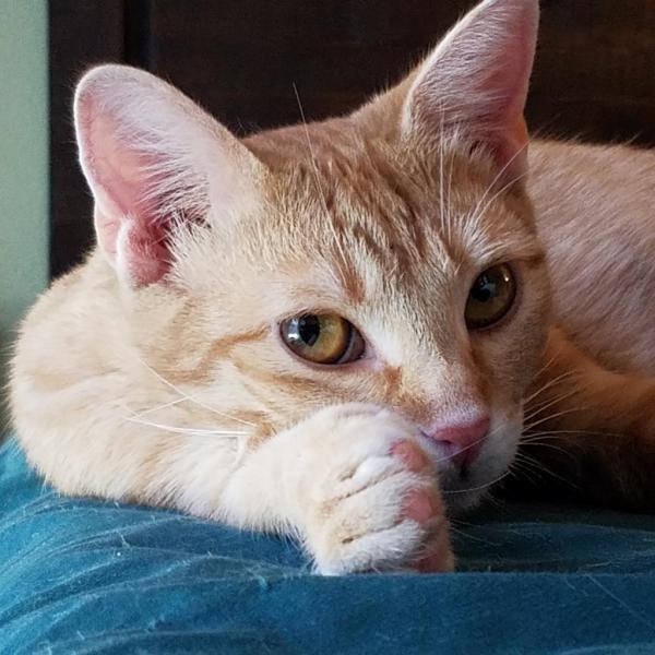 ORANGE JULIA ADOPTABLE CAT DALLAS PETS ALIVE