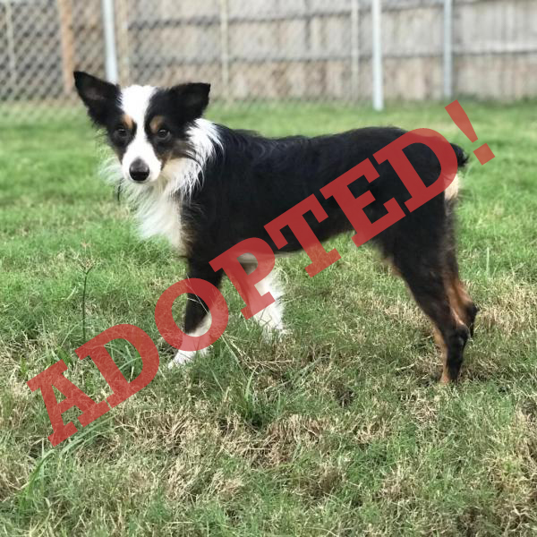 Pickles Adoptable Dog Dallas Pets Alive