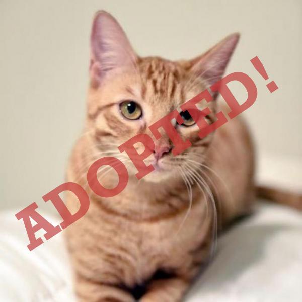 RAFIKI ADOPTED CAT DALLAS PETS ALIVE