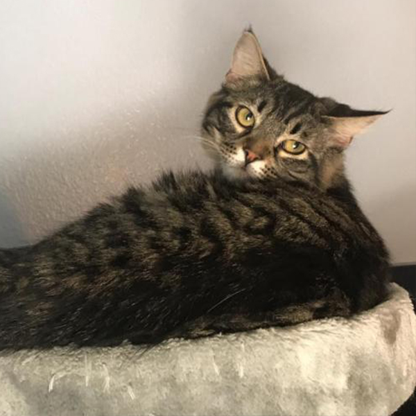 yu darvish adoptable cat dallas pets alive