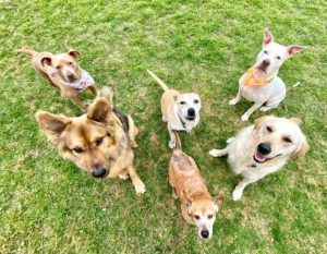 """""""Fun Crew"""" 3 fosters + our 3 resident dogs"""